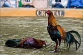 斗鸡是秘鲁一项传统的运动,和其它国家不同,在这里,斗鸡是合法的。有人专门饲养参加比赛的斗鸡,有专门的饲料喂这些鸡,饲料里还会含有类固醇和维生素。有专门的人训练这些鸡,让它们参加比赛。参加比赛的公鸡最后会伤的很严重。(来源:环球网旅游频道)比赛开始前,参加比赛的鸡会被称重,然后分别放在笼子里,和参加比赛的拳击手的程度有点像。整个程度由裁判监督。之后,带上特殊装备的鸡就会被带到比赛场地。激烈血腥的斗鸡吸引了各个社会层次的人,大多都是男性,也有女人和小孩。