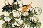 图为棉花树。