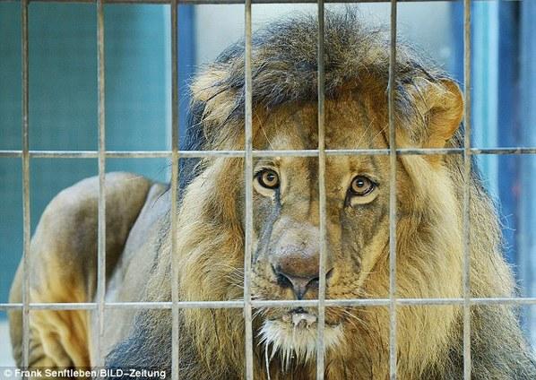 德国动物园狮子遭神秘投毒 口吐白沫(组图)