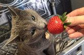 猫咪们的食材也是精心准备的,酒店选用虾仁、三文鱼、鳕鱼等有机食材进行精心烹饪,并把做好的食材放在精美的瓷盘中供猫咪们食用,费用是每晚60英镑(约合600元)