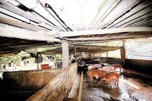 农村养猪门槛低,建个猪圈就能养。海南日报记者 陈元才 摄