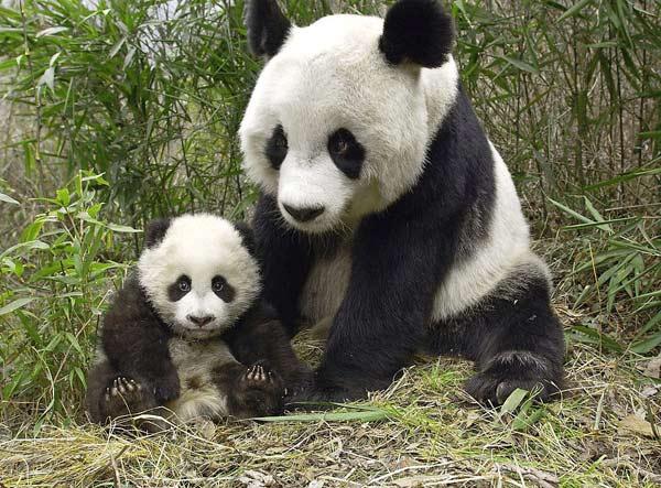陕西枪杀珍稀国宝大熊猫主犯被判死缓