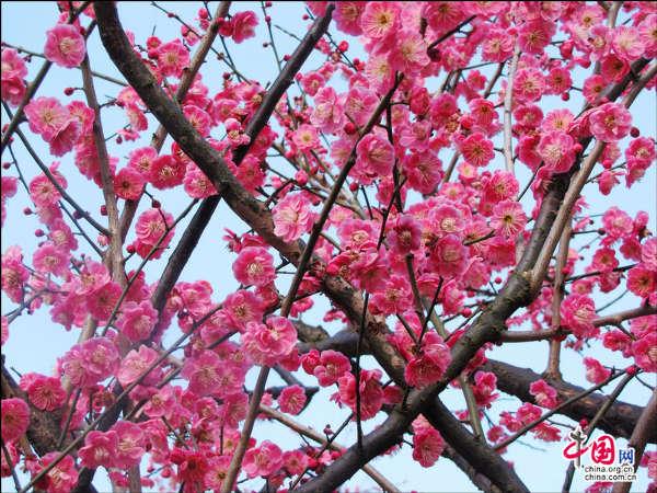 时下,黄山风景区山脚下的桃花,樱花,梨花,望春花,金缕梅….