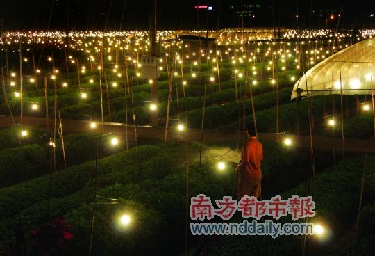 西塱200亩菊花田数万盏灯夜照半年
