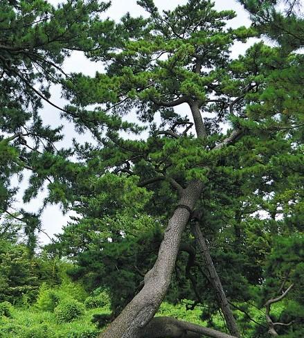 旅游 旅游攻略 > 正文   济州汉拿山中数百岁的古松树 济州岛,应该是