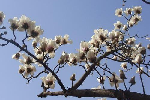 最名贵珍稀的花木之一 白玉兰