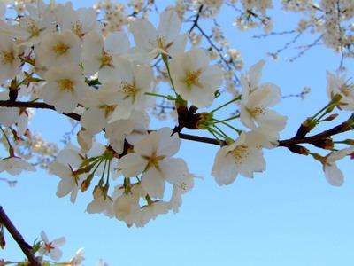 湖北樱花(图片来源:微图)