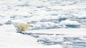"""北极熊是北极的""""王者""""。"""