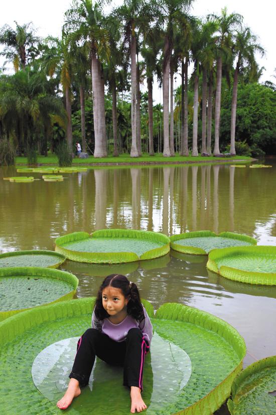 ↑西双版纳热带植物园巨大的莲叶能载人