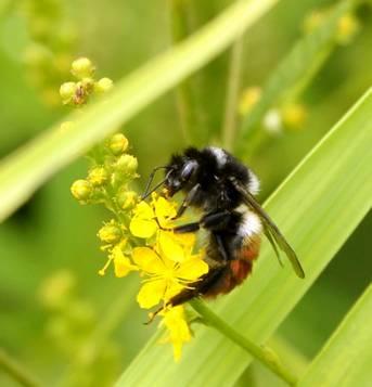 蜜蜂采蜜忙图片
