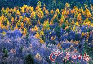 香格里拉普达措公园里被秋风染上颜色的林木。新华社图