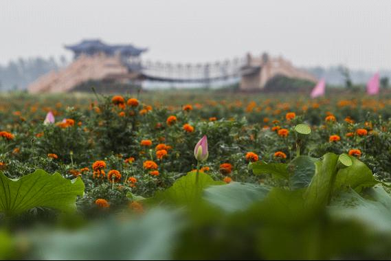 江苏兴化 水上森林品蟹、千垛景区赏菊 旅游月