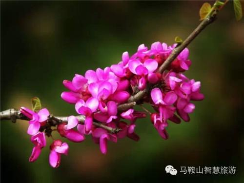 豆科紫荆花,也称紫珠