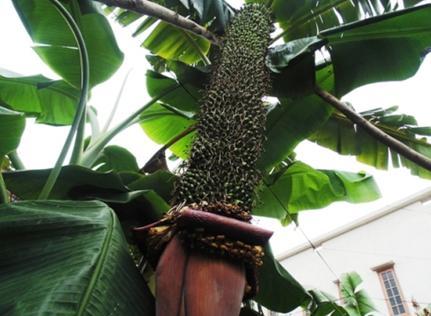 越南出现超级香蕉树 一穗结出超3000个香蕉(图)