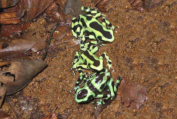 世上最毒动物之箭毒蛙:0.0003克毒液可毒死人