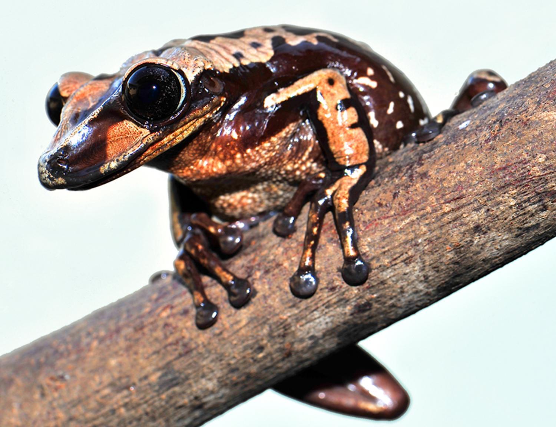 布鲁诺盔头蛙(Aparasphenodon brunoi)