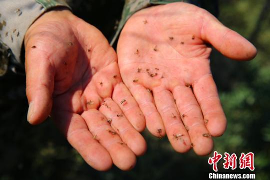 惊呆!新疆中蒙边境蚊虫肆虐把猪咬得撞墙自杀(图)_图1-1