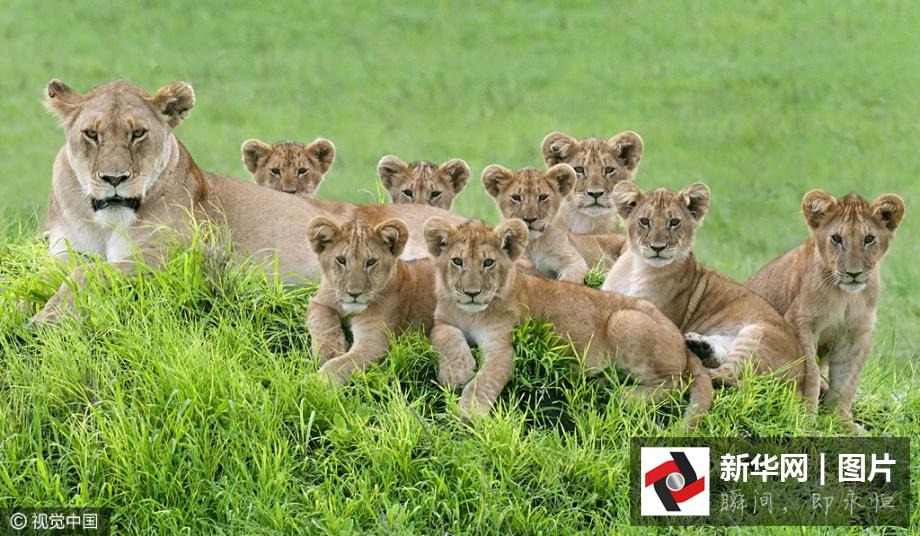 狮子一家11口罕见同框 拍超萌全家福(图)
