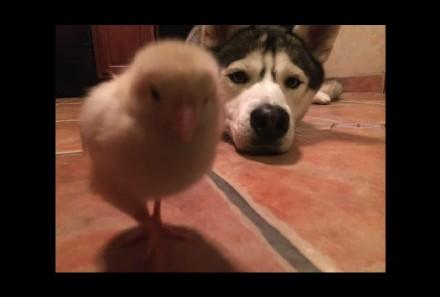 [萌宠]一只和二哈做朋友的小鸡(含gif图)