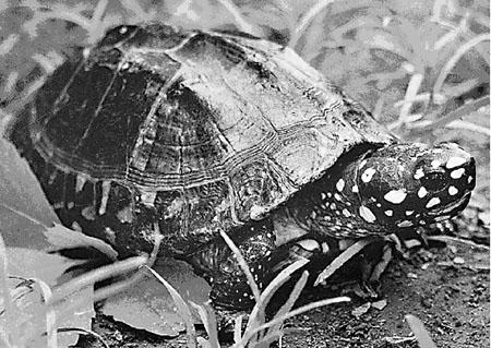 被盗的国家一级重点保护动物黑池龟