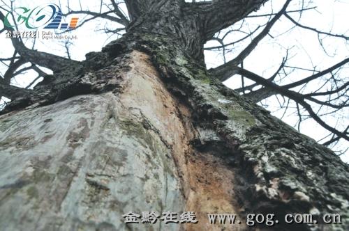 古树的树皮大面积脱落(拍摄于一年前).