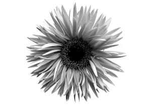 菊花唯美图片高清