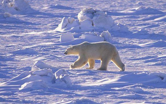 阿拉斯加北极熊患怪病脱毛皮肤溃烂 原因未明