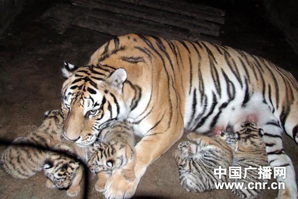 中国横道河子猫科动物中心3虎产下14仔