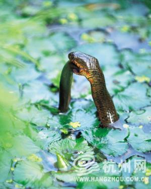 蛇吞泥鳅_资讯频道_凤凰网