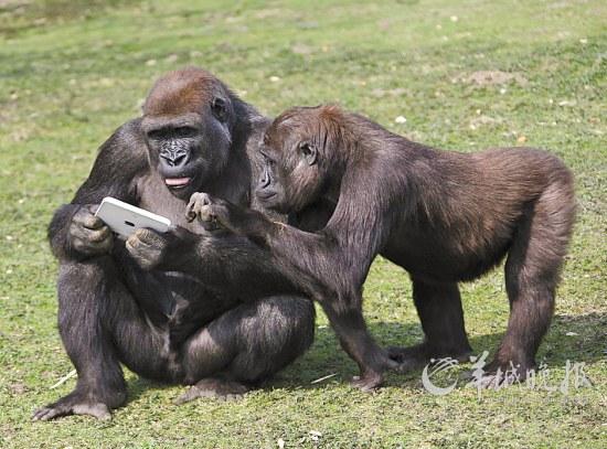 英国肯特动物园的大猩猩拿着新上市的iPad2平板电脑,好像在研究它的功能CFP/图 张田勘 人的基因组与动物的基因组差距并不大,例如人与自己的灵长类近亲倭黑猩猩有99.6%的基因一模一样,而与黑猩猩的基因也有98.73%的相似性。尽管人与自己灵长类近亲的基因差异并不大,但是,人的智商却远远高于它们。排除了人类智商高的一个重要因素社会生活之外,人类智商高的纯粹生物学原因主要在于自身的大脑与动物的大脑差异。 一、大脑重量和细胞数量 一直以来,研究人员认为,不同动物的大脑重量(容积)是决定其智商的重要因