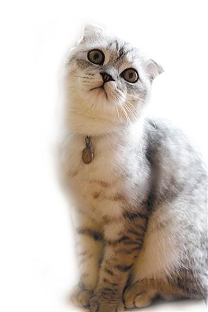 很多宠友再次被折耳猫可爱的外表所吸引,希望也能养上一只可爱的折耳
