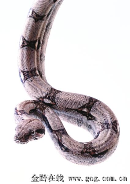 据称,蛇是冷血动物,对外界温度变化敏感,像现在这种一会儿热,一会儿