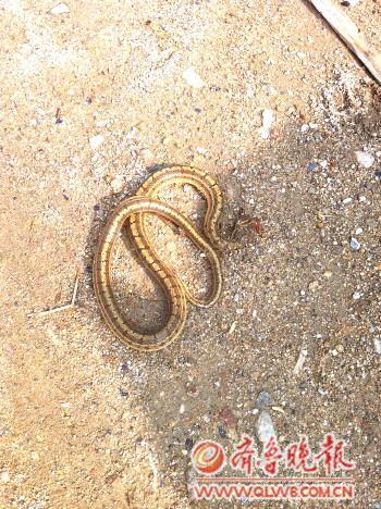 长岛,龙口,栖霞,福山等地,还生存着一种毒蛇叫做庙岛蝮蛇,也是近年来