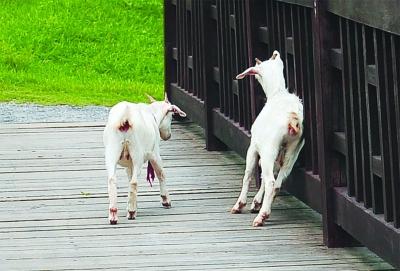 羊羊羊 痒痒痒