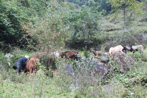 据悉,近年来该乡党委政府把发展养殖业作为调整和优化农业产业结构