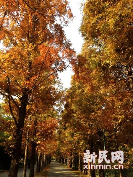 图说:上海滨江森林公园的水杉和池衫叶子开始由绿色变成半黄半绿的