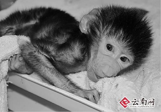 云南野生动物园小狒狒遭遗弃饲养员当奶妈