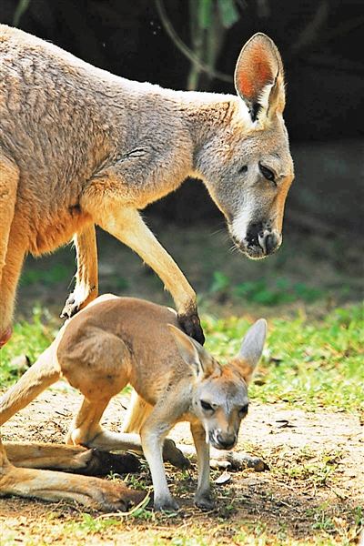 据悉,2011年春节前,3雌3雄6只澳洲袋鼠入住深圳野生动物园,它们很快