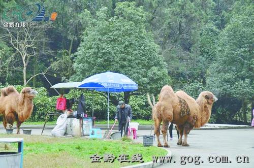 鸽子棚骆驼照相 告别黔灵山图片