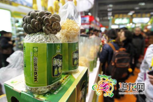 一个菌袋,一点营养液,即能收货一堆可爱的食用菌. 记者 罗嘉 摄