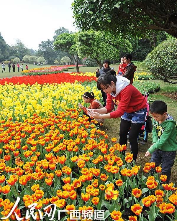 图为游客在南宁市动物园中心草坪观赏盛开的郁金香鲜花