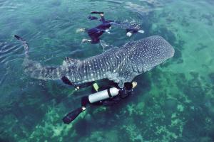 游客与鲸鲨互动