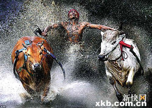 印尼当地的赛牛,一名骑师踩着安全带,抓住牛尾,随着牛在稻田里奔跑.图片