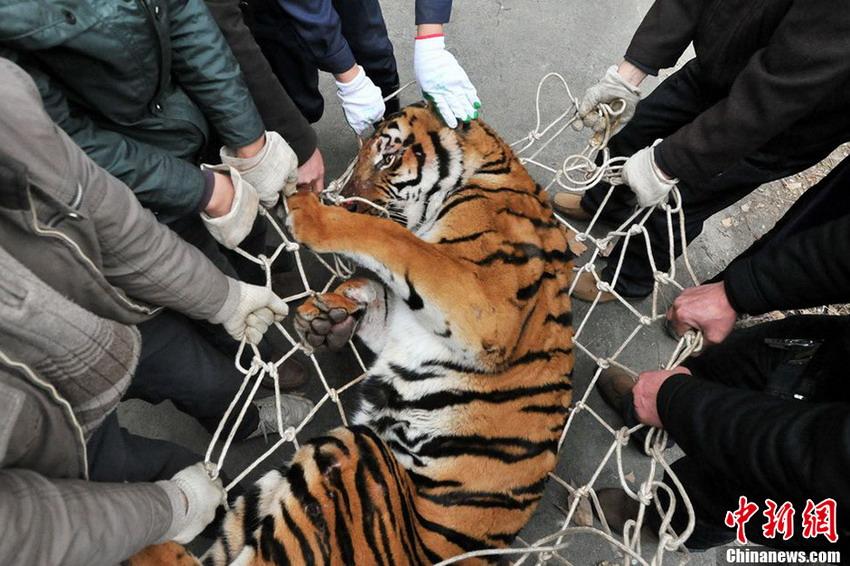 世界上最强壮的老虎