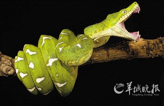 性动物,只在夜间活动,且攀爬动作敏捷,为卵胎生,每次能产下7-14条小蛇