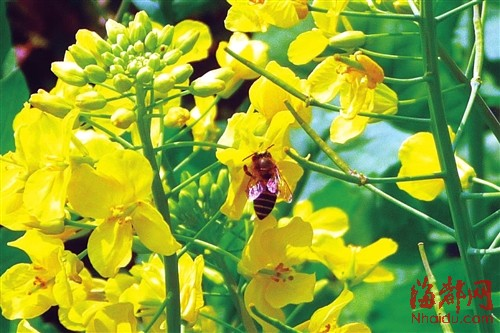 蜜蜂在花丛中嬉戏
