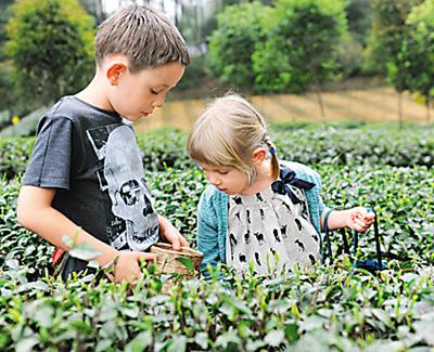 外国儿童体验采茶