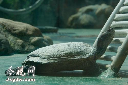 冬眠了许久的乌龟也开始活动了-太阳出来天气暖 动物园里欢乐多