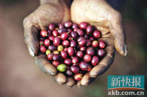上图:云南普洱郊区的一个咖啡农场里,一位咖啡农手捧新采摘的咖啡豆
