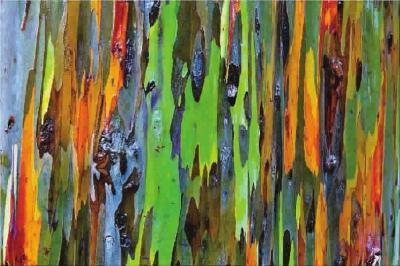 彩虹桉树树皮上的斑纹就像是抽象派大师所作的油画